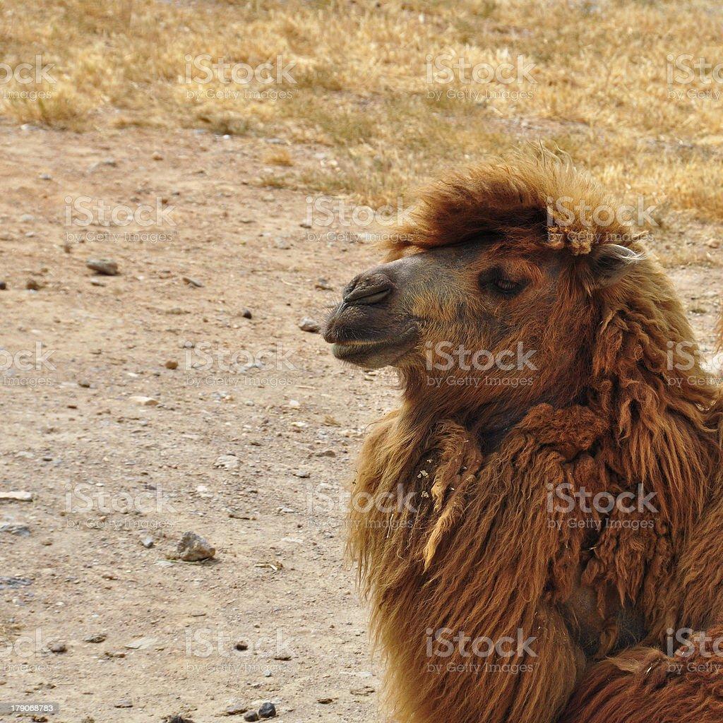wild bactrian camel royalty-free stock photo