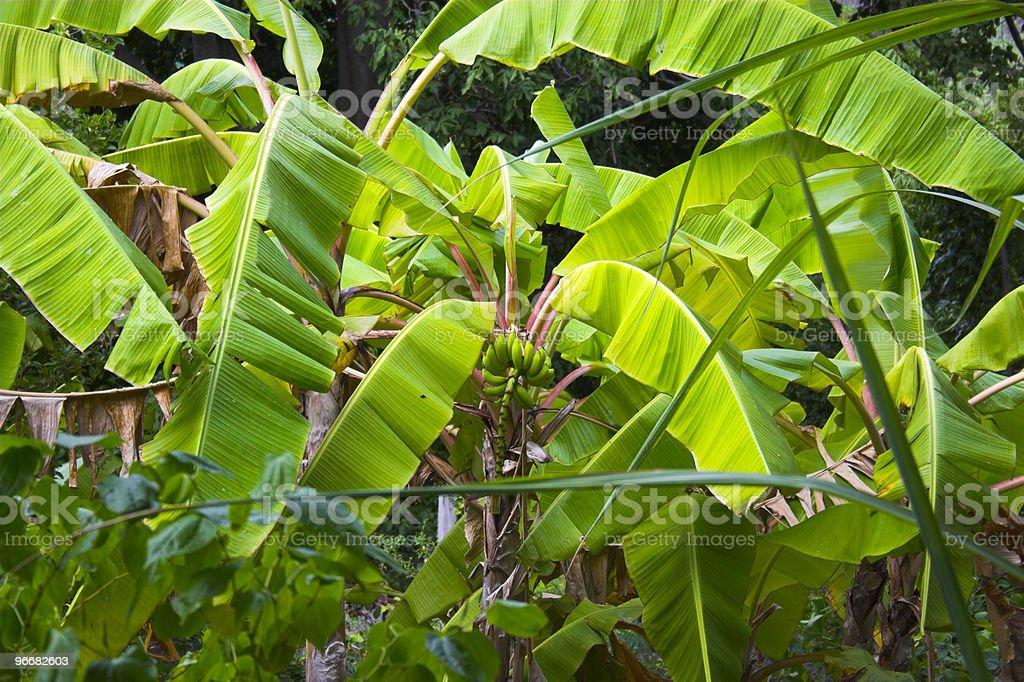 Wild Banana royalty-free stock photo