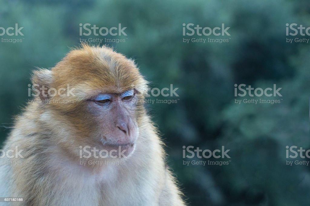 Wild barbary macaque, Ouzoud, High Atlas, Morocco. stock photo