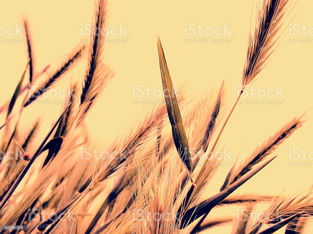Wild barley in a vintage technique stock photo