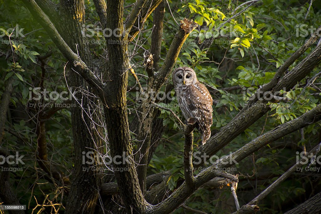 Wild Barred Owl Watches Intensely Before Sunrise stock photo