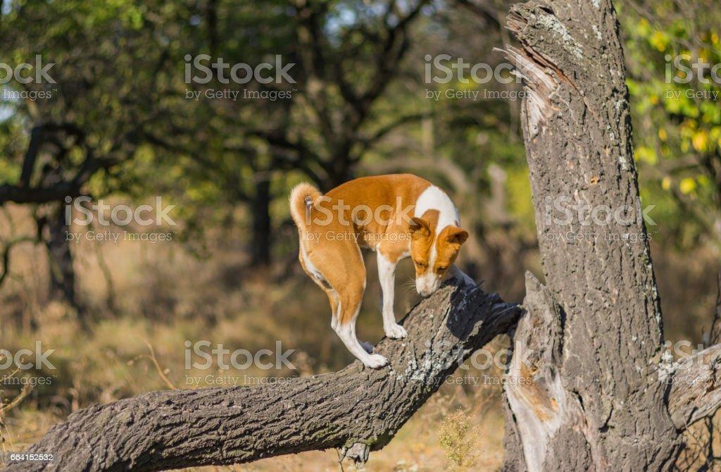 Wild Basenji dog climbs nearest tree at fall season stock photo