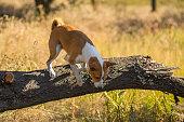 Wild Basenji dog jumping off a fallen tree
