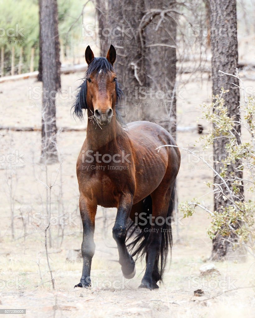 Wild Bay Stallion stock photo