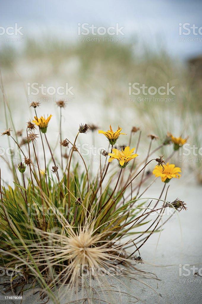 Wild Beach Flowers stock photo