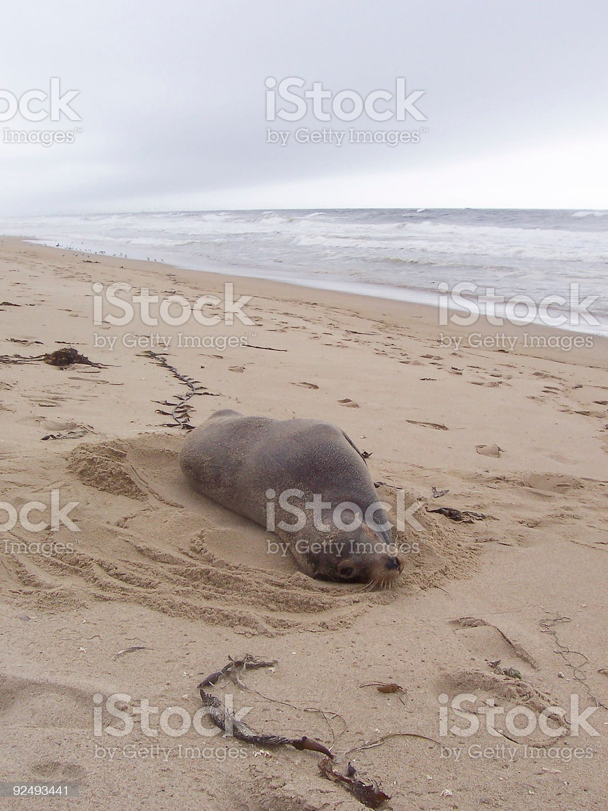 Wild Beached Seal on the Shore royalty-free stock photo