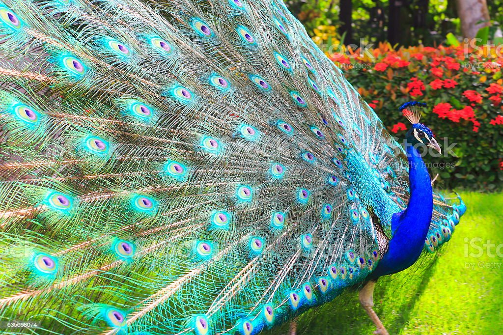Wild beautiful asian indian Peacock, colorful Feathers showing fanned Out stock photo