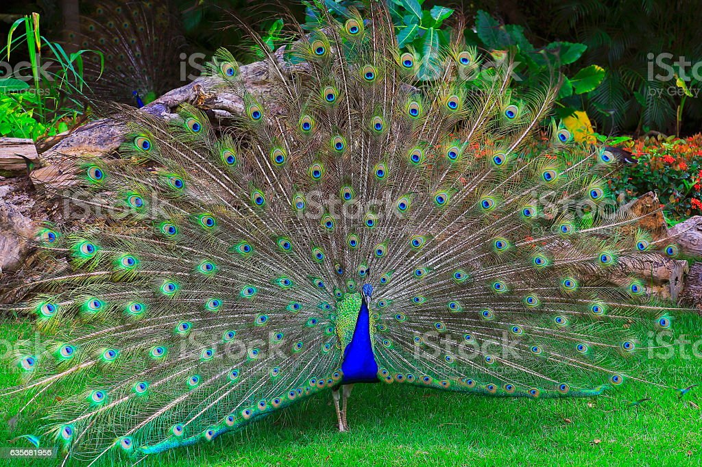 Wild beautiful asiatic indian Peacock, colorful Feathers showing fanned Out stock photo