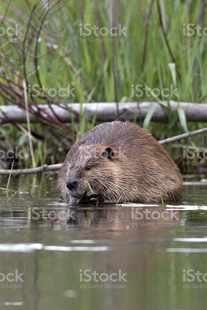 Wild beaver on Bear Creek Colorado vertical stock photo
