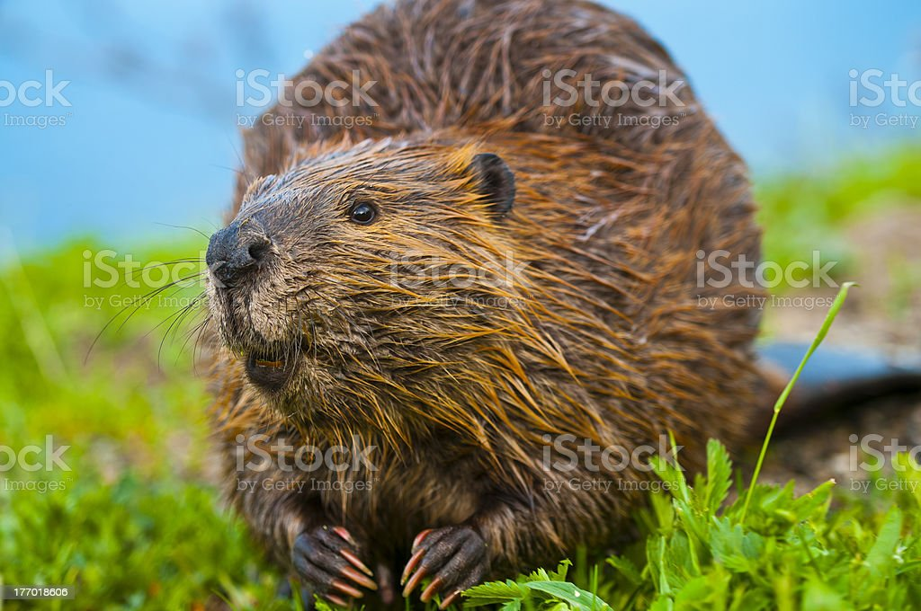 Wild Beaver stock photo