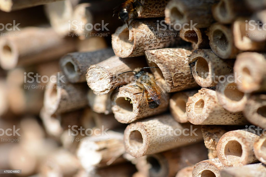 wild bee Osmia bicornis in front of hotel insect shelter stock photo