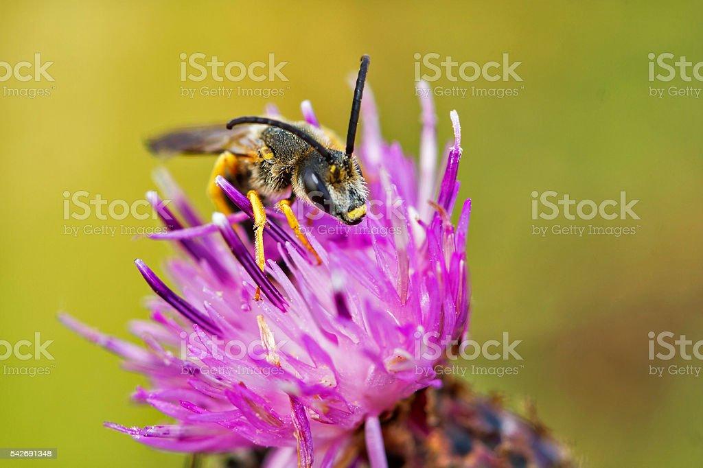 Wild bee stock photo