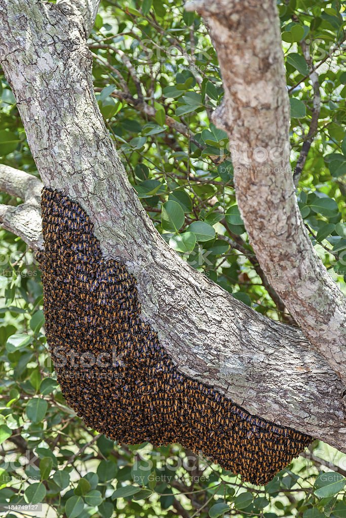 Wild bees in Sri Lanka stock photo
