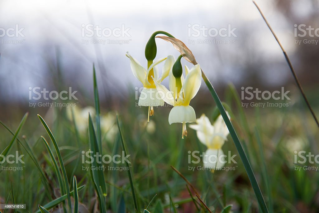 Wild bell-shaped flowers - Flores Silvestres con Forma de Campana stock photo