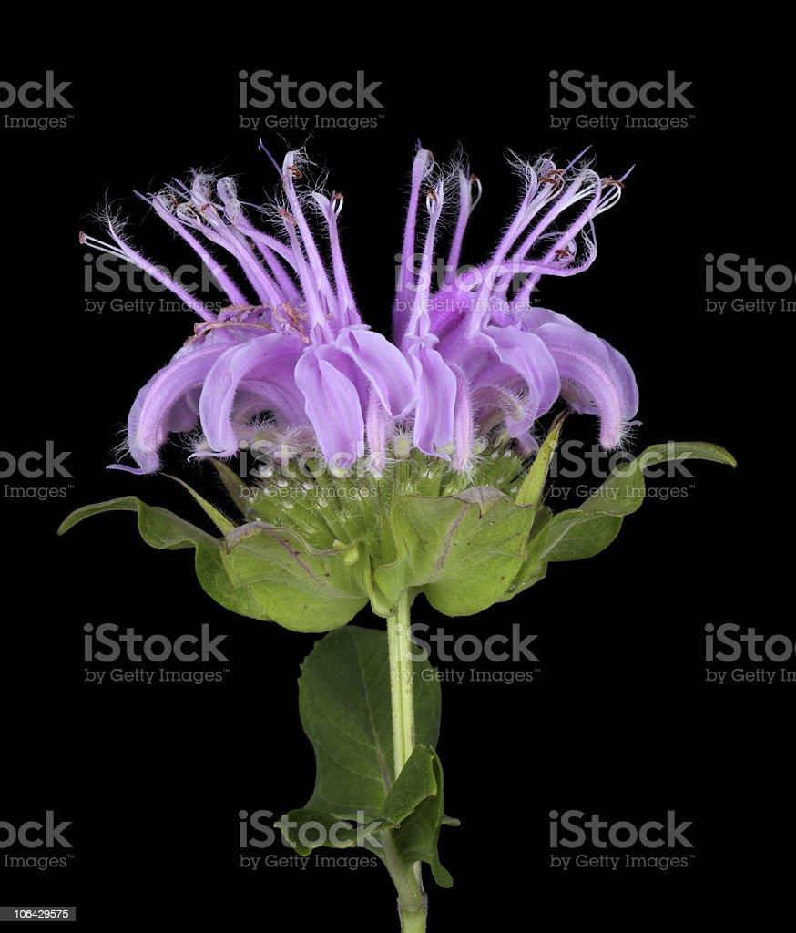 Wild Bergamot, Monarda fistulosa royalty-free stock photo