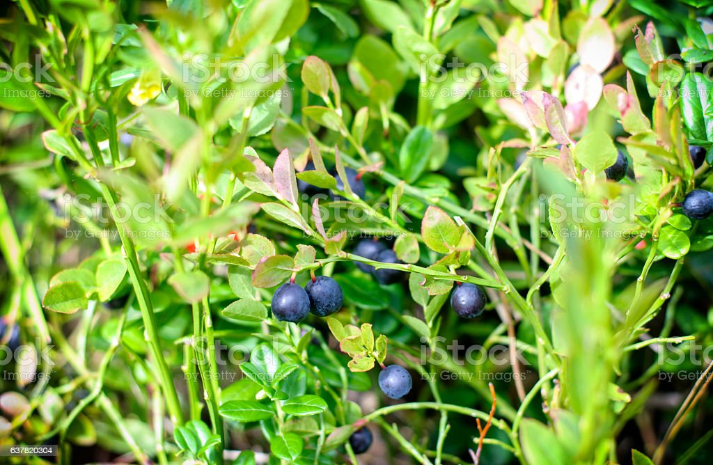Wild berries on a green vegetative background in wood stock photo