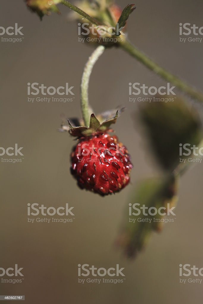 wild berries on forest royalty-free stock photo