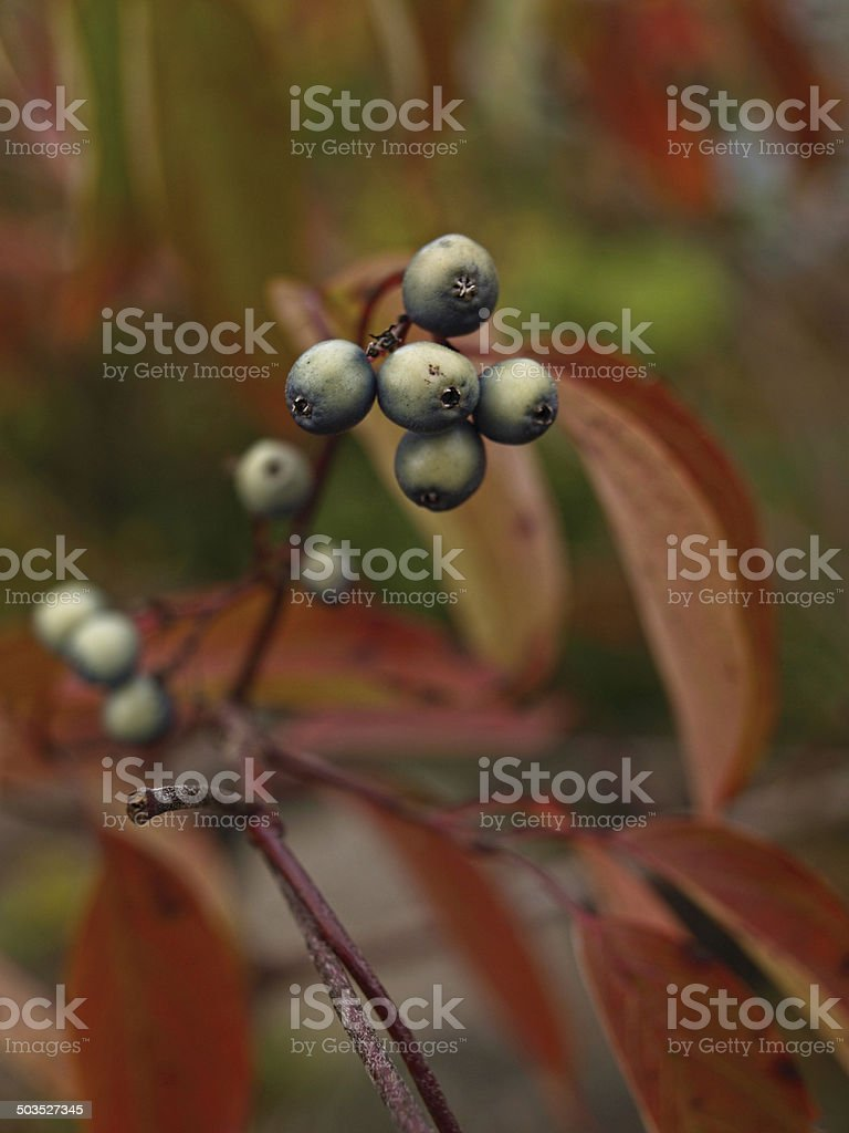 wild berries on the branch stock photo