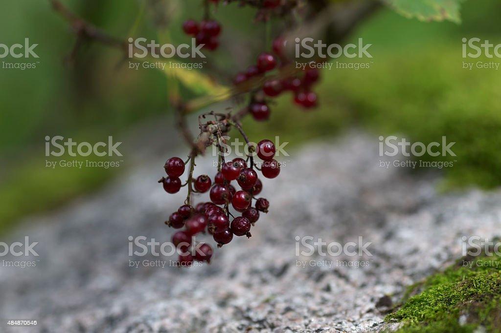 wild berrys royalty-free stock photo