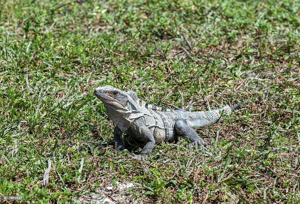 wild big lizard stock photo