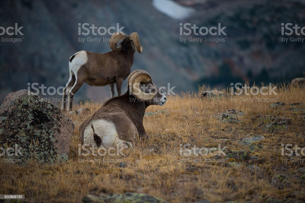 Wild Bighorn sheep Ovis canadensis Rocky Mountain Colorado stock photo