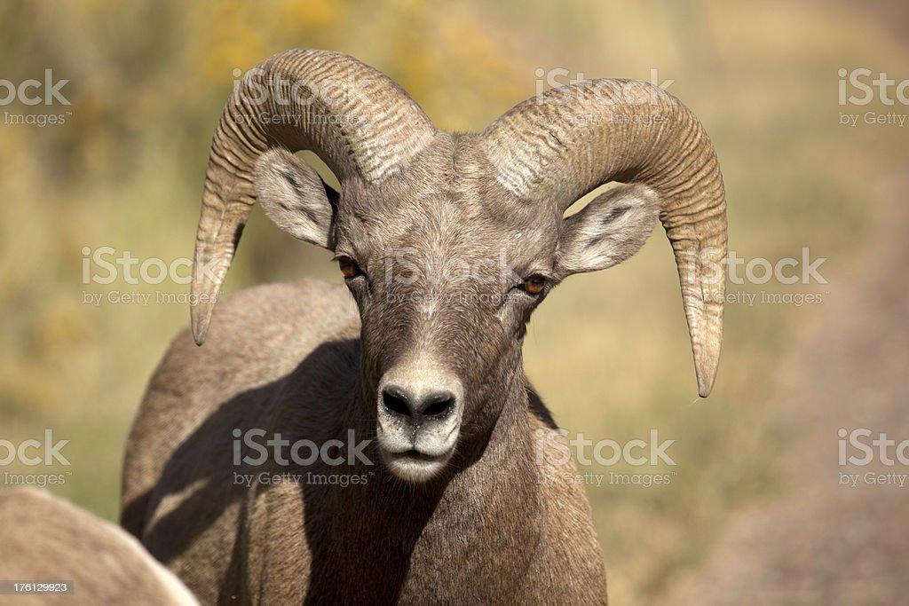 Wild Bighorn Sheep Ram Face in Colorado stock photo
