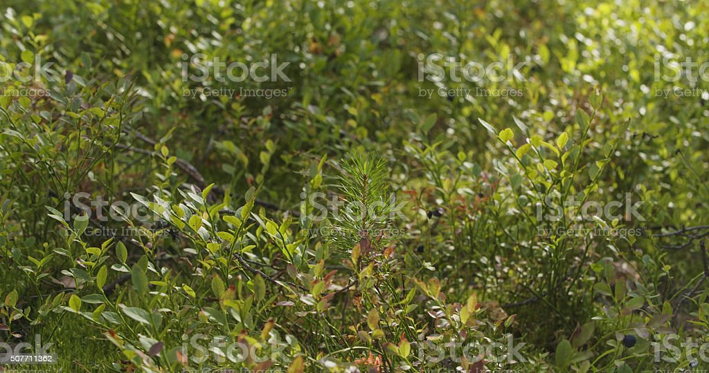 wild bilberries in forest slide movement stock photo