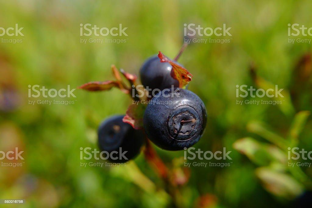 Wild bilberries stock photo