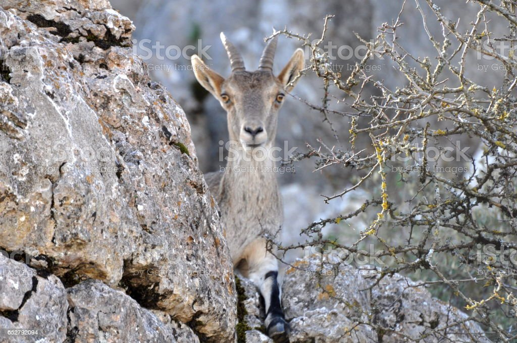 Wild billy goat in rocky outcrop stock photo
