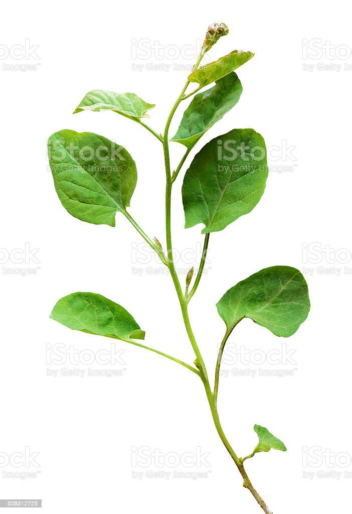 Wild bindweed leaves stock photo
