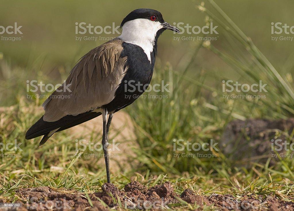 Ave selvagem na Tanzânia foto de stock royalty-free
