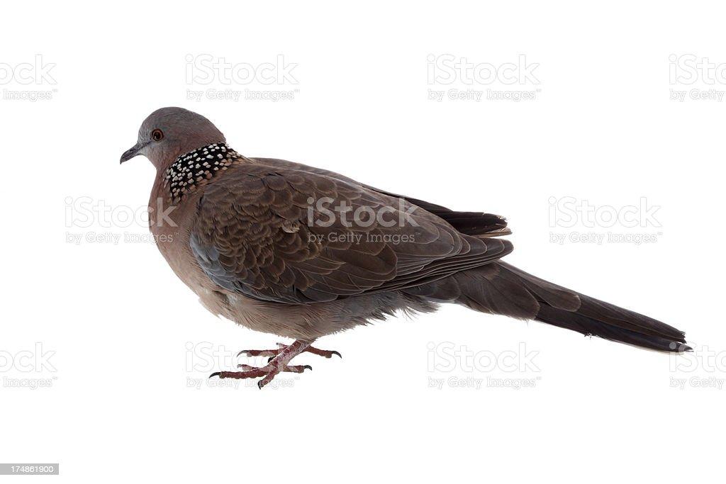 Wild bird on white background royalty-free stock photo