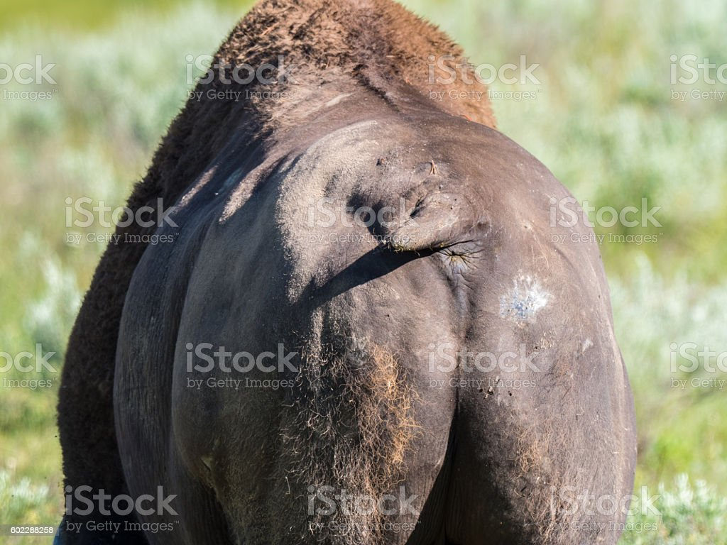 Wild bison in Yellowstone National Park stock photo