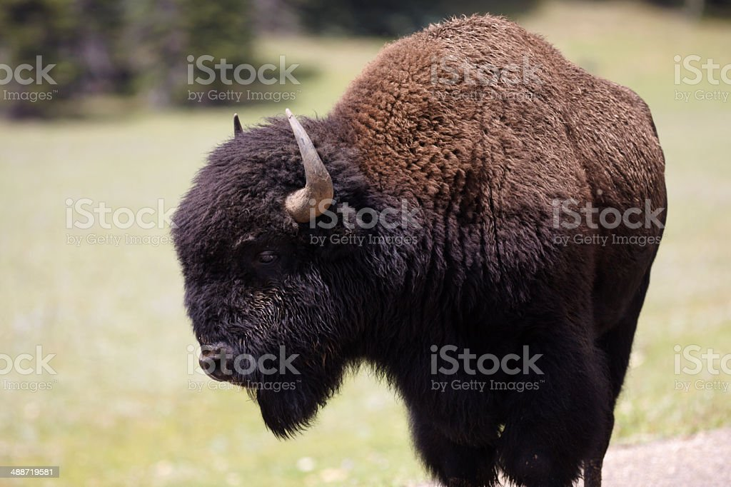 Wild Bison, Kaibab Plateau, Grand Canyon North Rim royalty-free stock photo