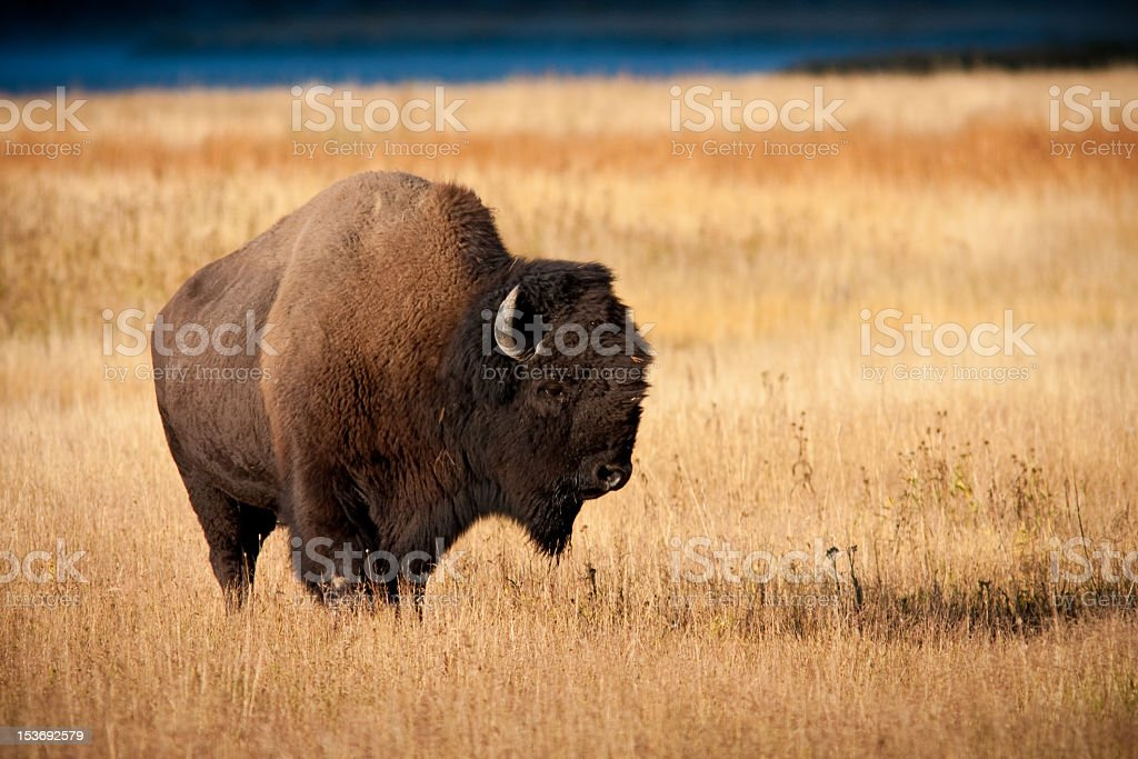 A wild bison standing alone in a large field stock photo