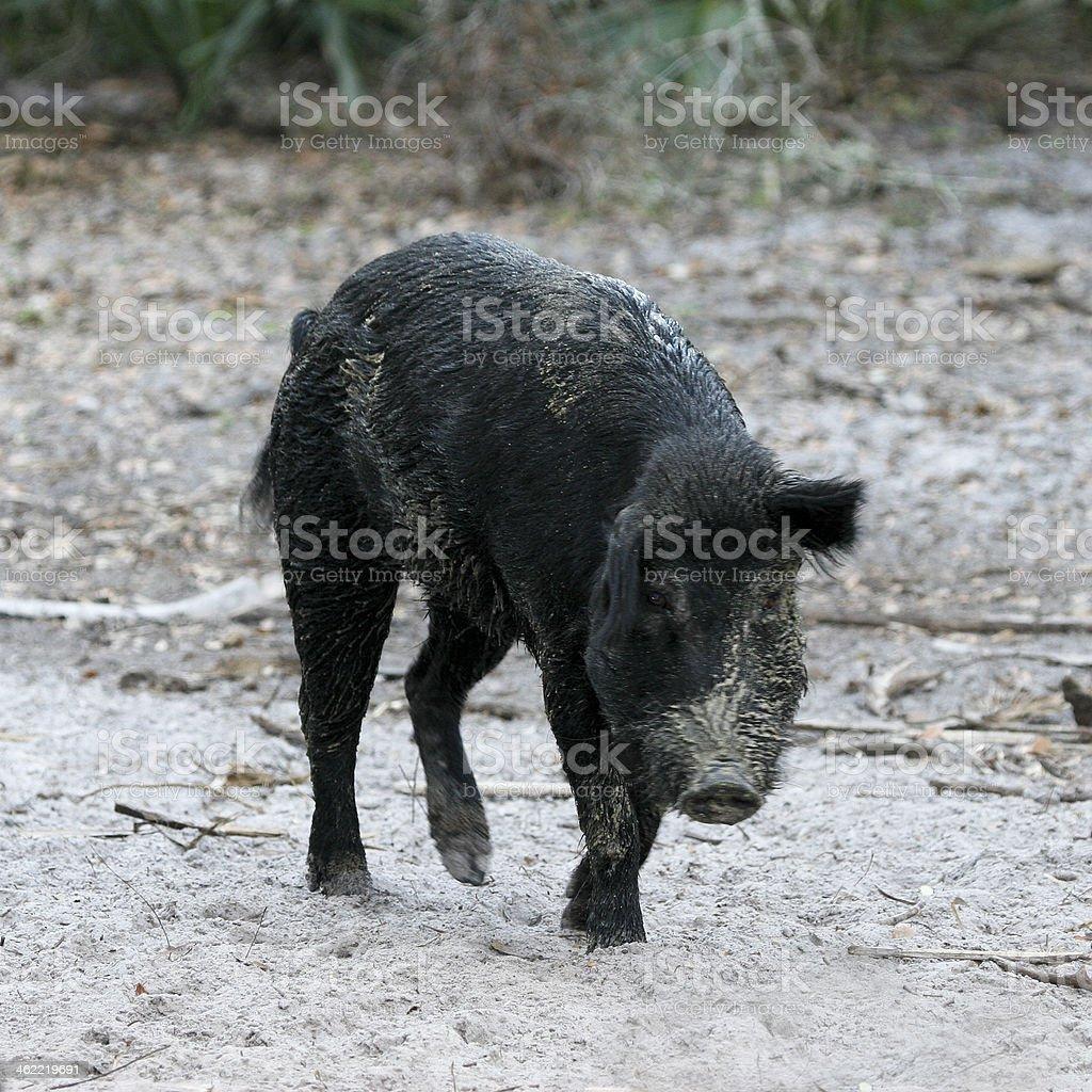 Wild Black Boar royalty-free stock photo
