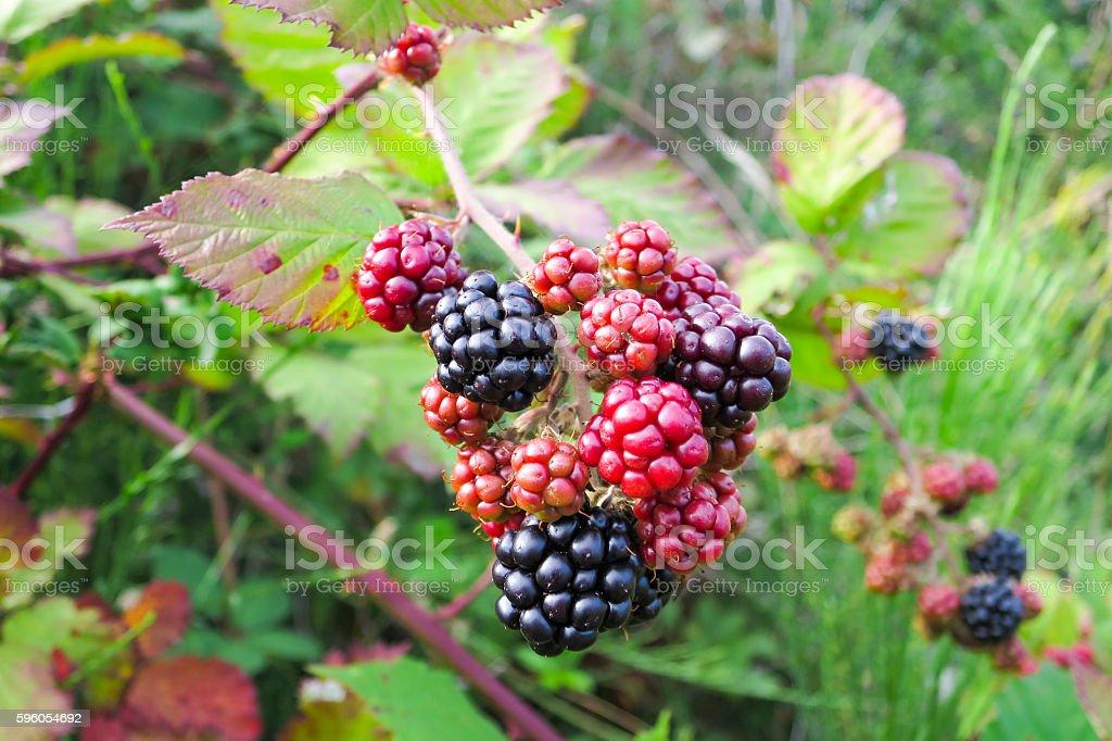 Wild blackberry bush stock photo