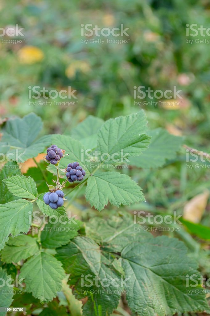 wild blackberry in a forest stock photo