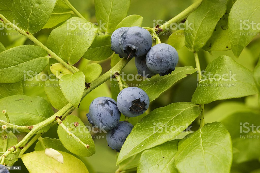 Wild Blue Berries royalty-free stock photo