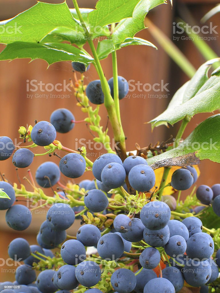 Wild blue berry stock photo