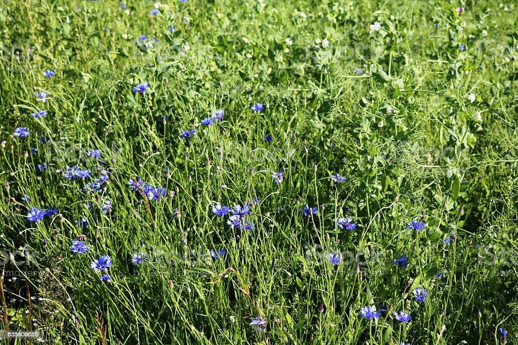 Wild blue cornflowers in summer in Sweden, Scandinavia stock photo