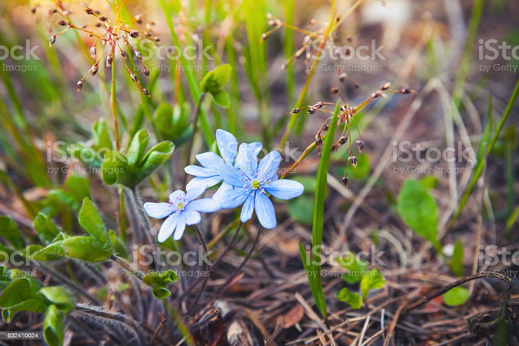 Wild Blue Hepatica flowers in spring forest stock photo