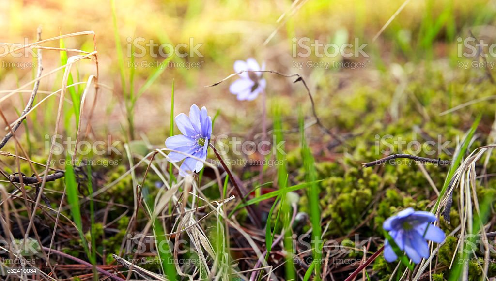 Wild Blue Hepatica flowers in the forest, spring stock photo
