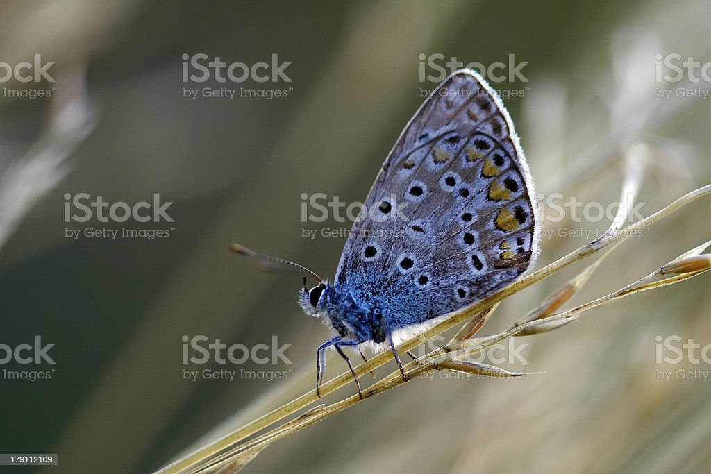 wild blue orange  butterfly royalty-free stock photo