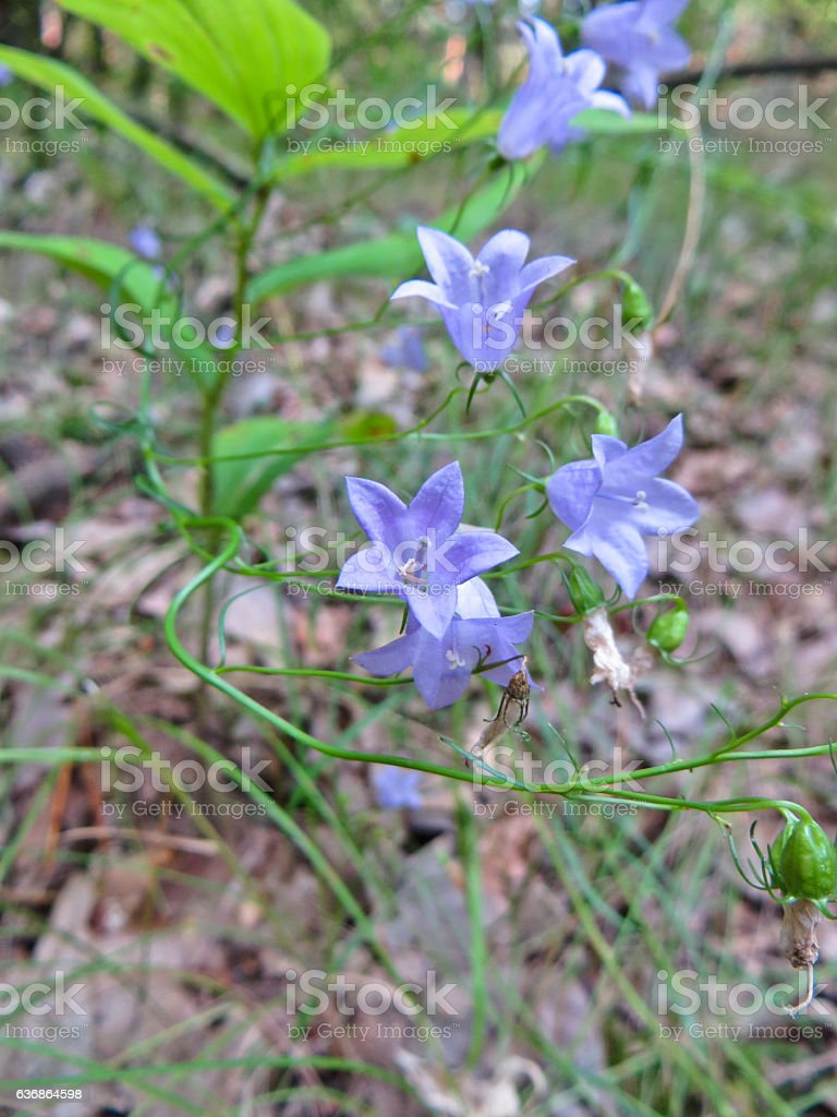 Wild bluebell flowers (campanula) in a forest stock photo