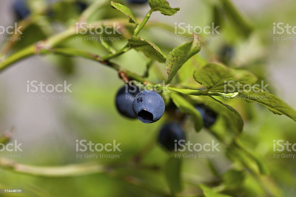 Wild blueberries from Swedish forest nature stock photo