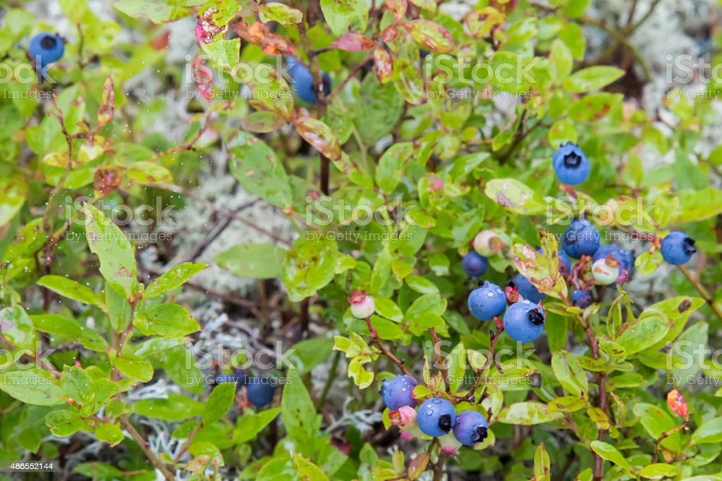 Wild blueberries in northern Ontario, Canada stock photo