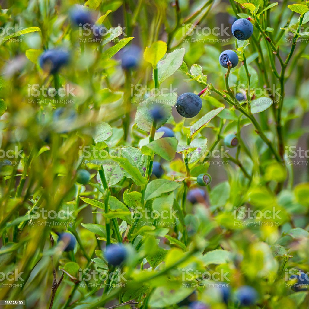 Wild blueberries in the forest stock photo