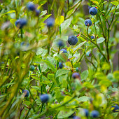 Wild blueberries in the forest