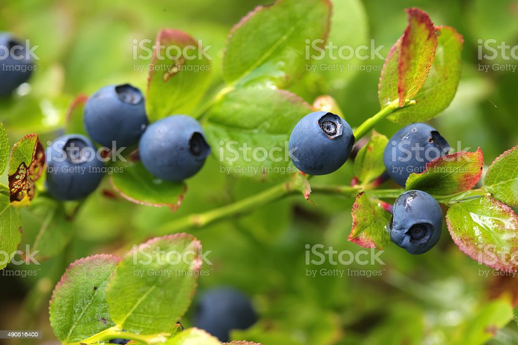 Wild blueberries on the bush in forest. Vaccinium myrtillus stock photo